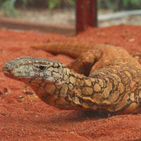Perentie lizard at Perth Zoo