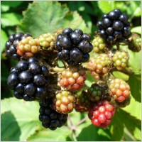 blackberry_blackberries_fruit_224333 free image
