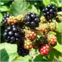 blackberry_blackberries_fruit_224333 free image