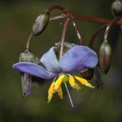 dianella-tasmanica-flower