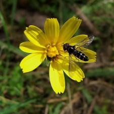 Yam daisy Microseris-scapigera-2-226x226