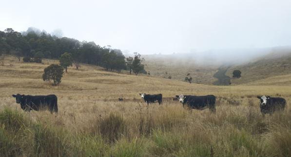cropped cows.JPG